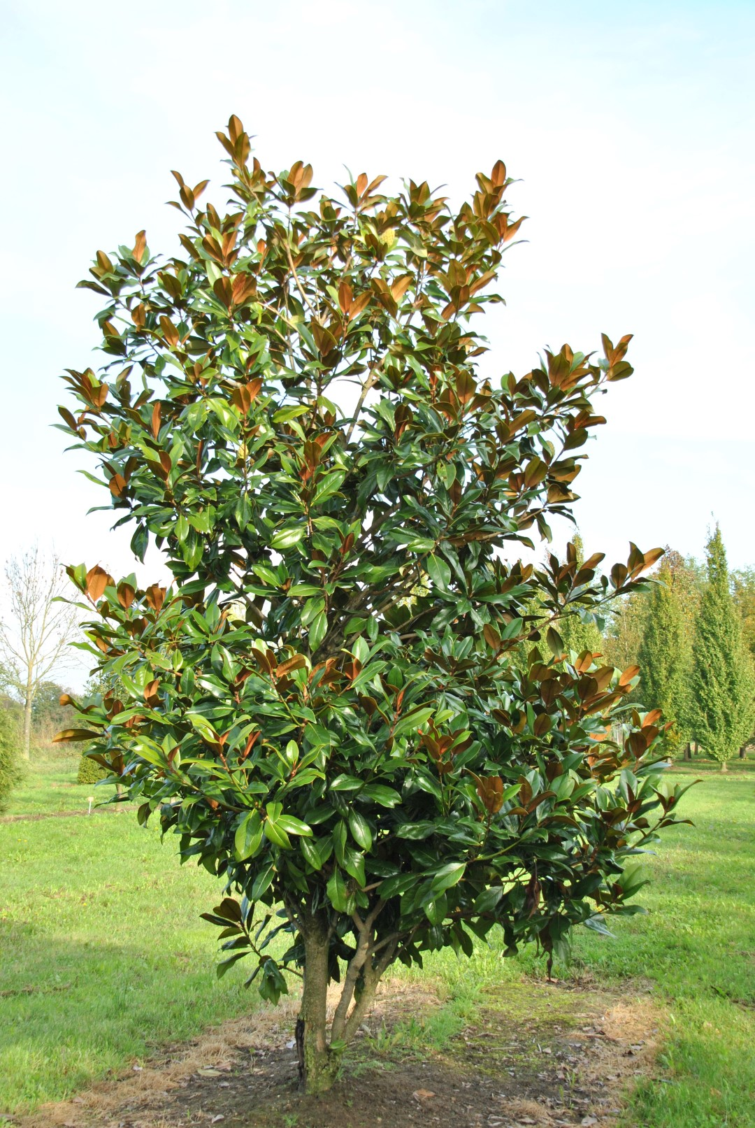 magnolia grandiflora 39 galissoni re 39 southern magnolia evergreen magnolia van den berk nurseries. Black Bedroom Furniture Sets. Home Design Ideas
