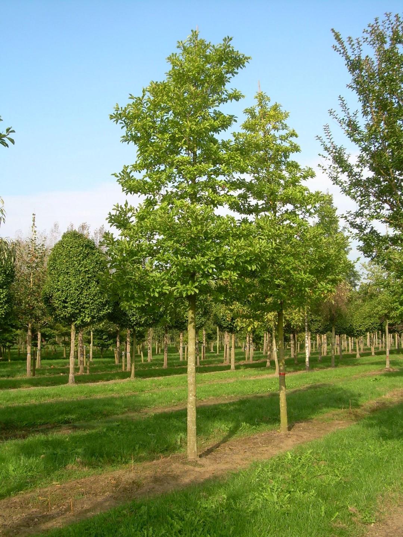 Magnolia Loebneri Merrill Van Den Berk Nurseries