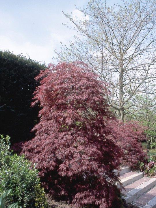 Acer-palmatum-crimson-queen