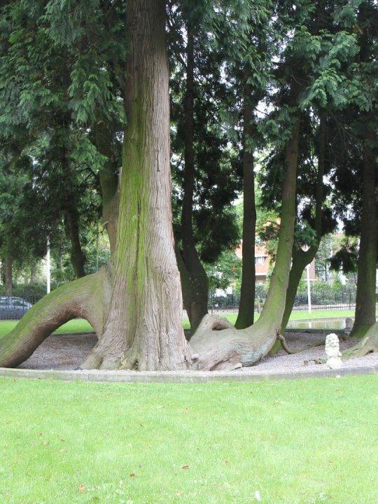 Thuja Plicata Giant Arborvitae Van