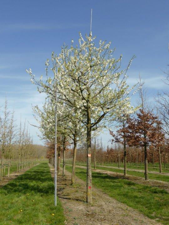 Prunus domestica 'Black Star' | Prunus domestica 'Black ...