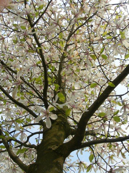 Magnolia Kobus-s
