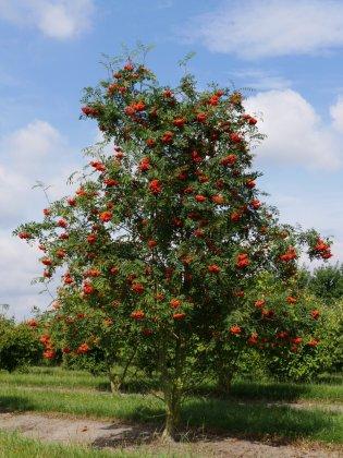 Sorbus Aucuparia-s Rode Besjes