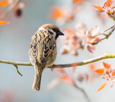 Eurasian-tree-sparrow-sitting-on-a-twig-pnwla65 Groot