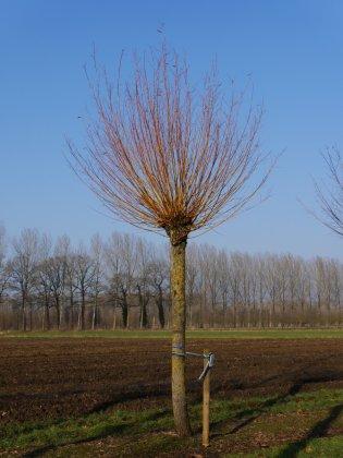 Salix Alba Chermesina Knotboom