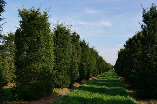 Taxus Baccata-s  Rijtje