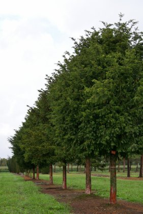 Taxus Baccata-s 45-50-60 Wb 1