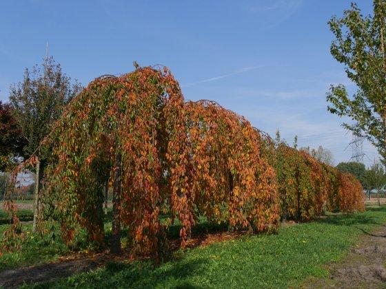 Speelboom Prunus Yedoensis Shidare-yoshino