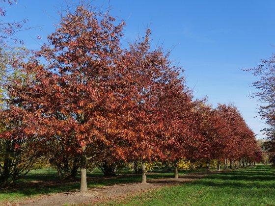 Speelboom Quercus Palustris